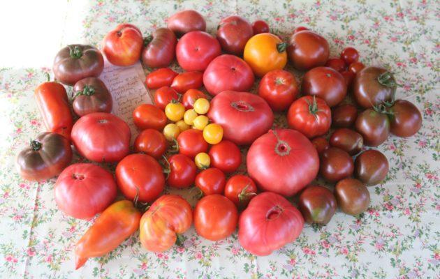 Werde Tomaten-Botschafter(in)!